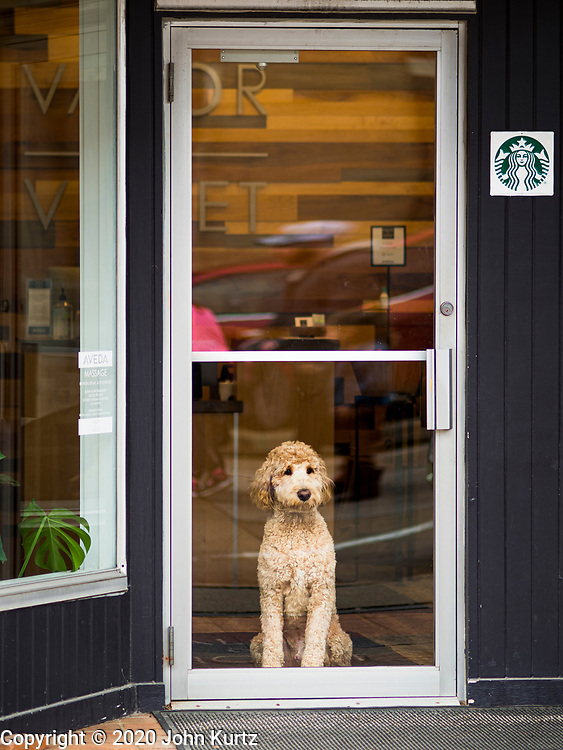23 MAY 2020 - AMES, IOWA: A dog looks out the door of a shop in downtown Ames. The Ames Main Street Farmers' Market reopened Saturday after nearly a month of only online sales because of Iowa's bans on large gatherings caused by the COVID-19 pandemic. Only about 15 venders set up stalls Saturday and attendance was significantly lower than normal. All of the venders wore face masks and many, but not all, of the shoppers wore face masks. Farmers' markets are popular community gatherings in Iowa, but they've been on hiatus since the Coronavirus (SARS-CoV-2) pandemic. At this time, Iowa farmers' markets are not allowed to have entertainment or sell non-food or non-agricultural goods.          PHOTO BY JACK KURTZ