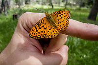Speyeria m. mormonia (Mormon Fritillary ) ♂ at Big Meadow, Tulare Co, CA, USA, on 19-Jul-12