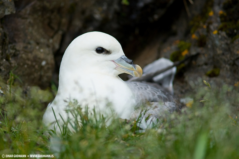 The Northern Fulmar produces a stomach oil made up of wax esters and triglycerides that is stored in the proventriculus. This is used against predators as well as an energy rich food source for chicks and for the adults during their long flights. The oil can destroy the plumage of avian predators and eventualy lead to their death.