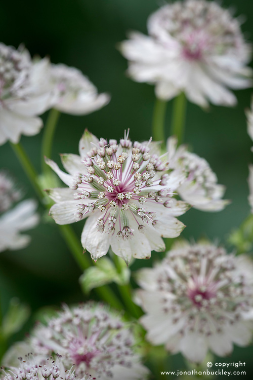 Astrantia check id. Possibly 'Sparkling Stars Pink' or 'Margery Fish'- see Josie's reference shots