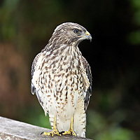 Red-shouldered Hawk<br /> A juvenile as evidenced by the dark bars on its breast. Corkscrew Swamp sanctuary, Florida