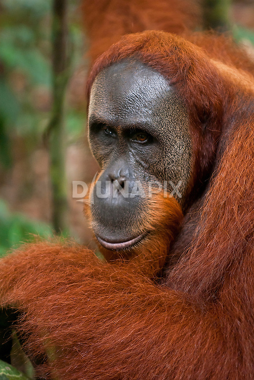 Intimate moment with a male Sumatran orangutan