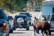 American Bison, Bos bison, holding up traffic in Yellowstone National Park, WY, on Sept. 8, 2012.  (Photo by Aaron Schmidt © 2012)