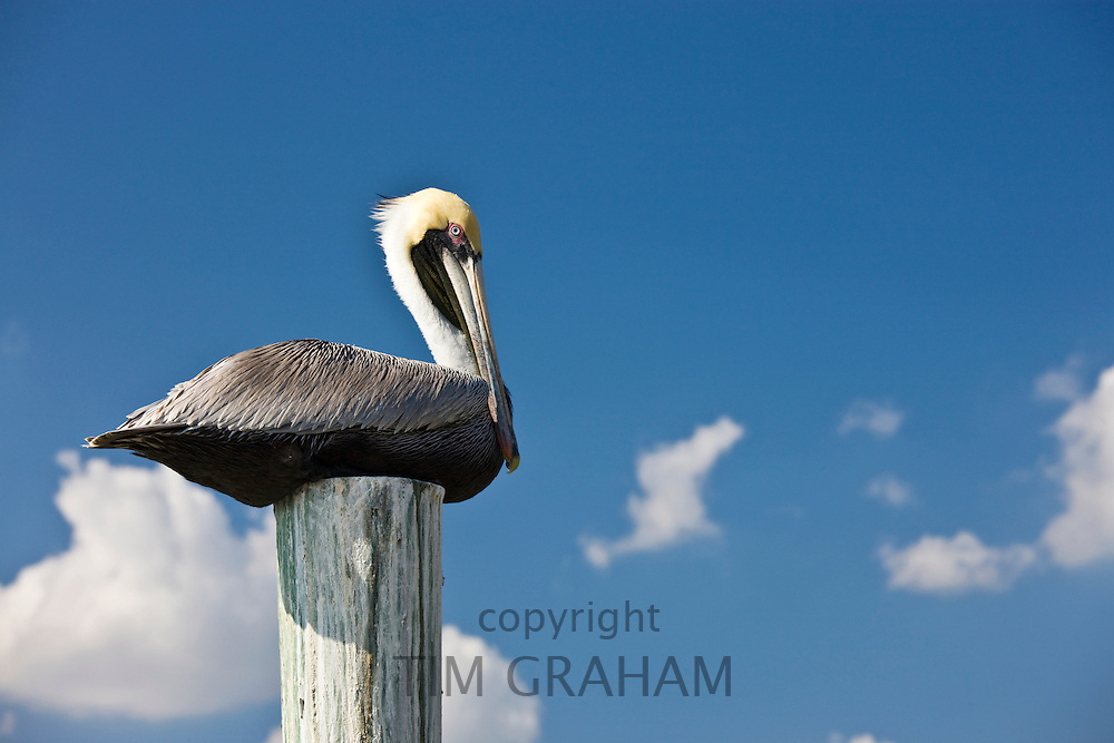 Brown pelican on a perch in the Everglades, Florida, United States of America