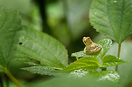 The call of Spring Peepers (Hyla crucifer) are often one the first sounds of spring in the eastern United States. They are so sensitive to changes in temperature that calls can sometimes be heard on warm days in late fall. These diminuative tree frogs spend most of their time hidden in moist leaf litter.