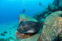 A Marble Ray cruises a rocky slop while divers observe.<br /> <br /> <br /> Shot at Cocos Island, Costa Rica