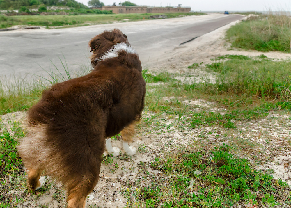 Cowboy, a six-year-old Australian Shepherd, stands on the east end of Dauphin Island, facing Fort Gaines, in Dauphin Island, Ala., April 28, 2014. (Photo by Carmen K. Sisson/Cloudybright)