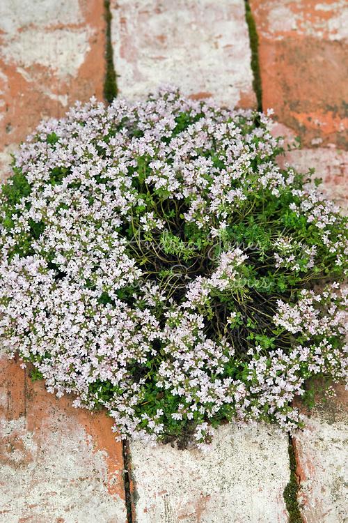 Thymus serpyllum 'Annie Hall'