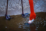 Chilean Flamingo, Pretoria Zoo, South Africa. (Phoenicopterus chilensis)