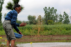 May 3, 2017 - Anantnag, Jammu And Kashmir, India - A Kashmiri farmer sowing paddy seeds on the outskirts of Anantnag district some 60 kilometers from summer capital of Indian occupied Kashmir.Sowing the paddy seeds is the gateway to major staple food of Kashmir (Credit Image: © Aasif Shafi/Pacific Press via ZUMA Wire)
