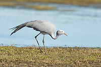 Blue Crane feeding on the edge of a wetland, Overberg, Western Cape, South Africa