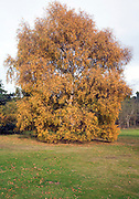 Silver birch tree with orange brown autumn leaves, Shottisham, Suffolk, England