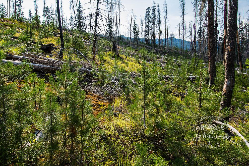 Forest fire damage & tree regrowth, Okanogan-Wenatchee National Forest, Washington, USA