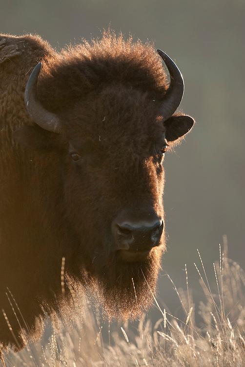 Backlit bison cow (Bos bison), National Bison Range, Montana