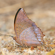 Charaxes bernardus hierax, the Tawny Rajah butterfly. .