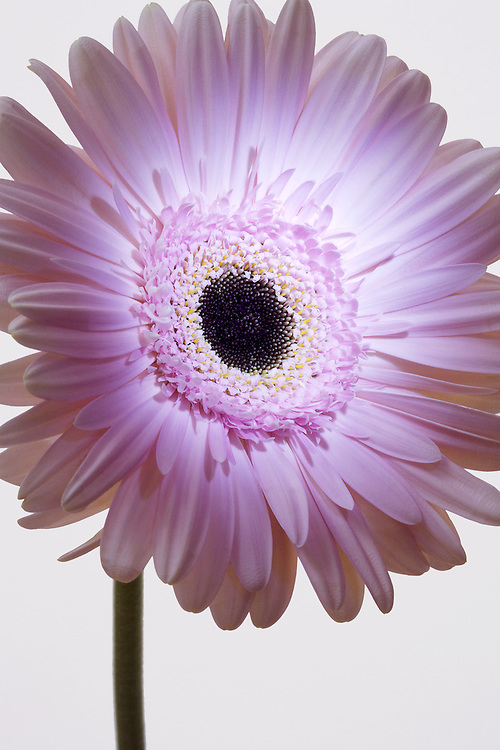 Pink gerber daisy with strong lighting on the front of the flower for a dramatic feel to image.