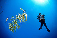 Diving Videographer, Bannerfish, and Sweetlips