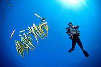 Diving Videographer, Bannerfish, and Sweetlips