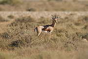 Dorcas Gazelle (Gazella dorcas), also known as the Ariel Gazelle Photographed in the Negev Desert, Israel