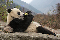 Giant panda, Ailuropoda melanoleuca, laying on rock in the mountains, eating bamboo.