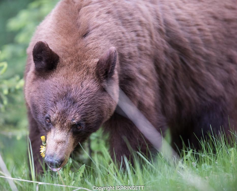 Cinnamon Black Bear. (Ursus americanus), Alberta, Canada, Isobel Springett