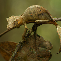 A study on perfection in mimicry: a Satanic Leaf-tailed Gecko (Uroplatus phantasticus). One of 14 species of leaf-tailed geckos endemic to Madagascar, this nocturnal insectivore utilizes its incredible camouflage to hide among dead foliage by day. All Uroplatus geckos are under severe threat from deforestation and over-collecting for the international pet trade. Tomasina, Madagascar.