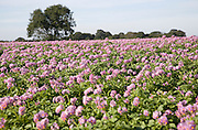 Purple flowers of potato crop growing in a field, Shottisham, Suffolk, England