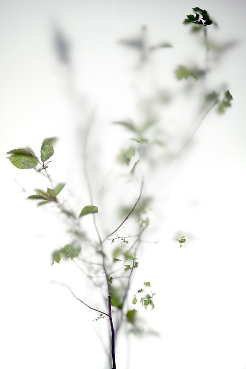 fresh green leaves from wild twig seen through frosted glass