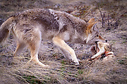 A coyote (canis latrans) runs off with a lamb illustrating a common conflict between ranchers and predators.
