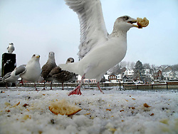 GERMANY ECKERNFOERDE 27DEC10 - Seagulls scramble for dried bread in the port of Eckernfoerde, Baltic Sea, Germany...jre/Photo by Jiri Rezac..© Jiri Rezac 2010