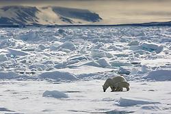 Polar Bear (Ursus maritimus) mother with cub in Spitsbergen, Svalbard