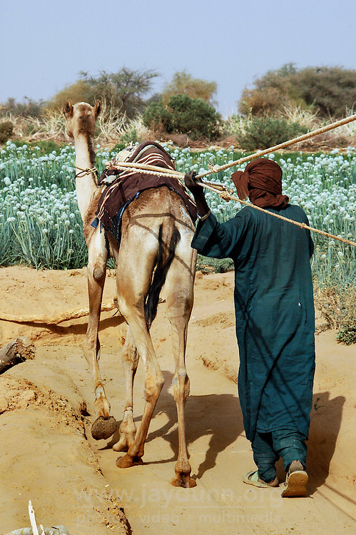 Niger, Agadez, Tidene, 2007. Camels are used in tandem to raise water at this especially productive Tuareg well.