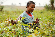 Patience Nsona harvests cassava leaves to bring back home for cooking in the village of Kinsiesi, Bas-Congo province, Democratic Republic of Congo on Saturday June 18, 2011.