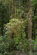Rhododendron blooming along Howland Hill Road, Redwoods State and National Parks, California.