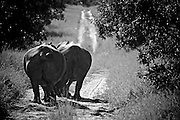 Two white rhinoceros (Ceratotherium simum) walk along a dirt road in Thornybush Reserve, South Africa