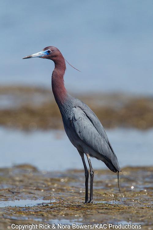 Little Blue Heron <br /> Egretta caerulea<br /> San Diego, California, United States<br /> 21 June      Adult       Ardeidae