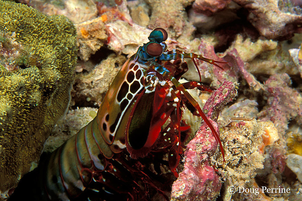 peacock mantis shrimp, Odontodactylus scyllarus, removes piece of coral from burrow, Surin Islands, Thailand ( Andaman Sea, Indian Ocean )