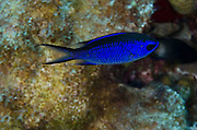 Blue Chromis (Chromis cyanea)<br /> BONAIRE, Netherlands Antilles, Caribbean<br /> HABITAT & DISTRIBUTION: Low profile or patch reefs feeding on plankton.<br /> Florida, Bahamas, Caribbean, Gulf of Mexico & Bermuda.