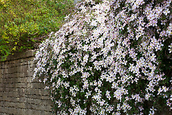 Clematis montana growing over a wall by a lane