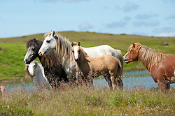 © Licensed to London News Pictures. 24/06/2014. Myndd Epynt, Powys, Wales UK. Ponies are seen on a beautiful summers day against the rural backdrop of the Myndd Epynt range of hills in Mid-Wales.                                Photo credit : Graham M. Lawrence/LNP