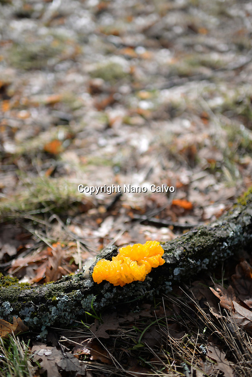 Tremella mesenterica is a common jelly fungus in the Tremellaceae family
