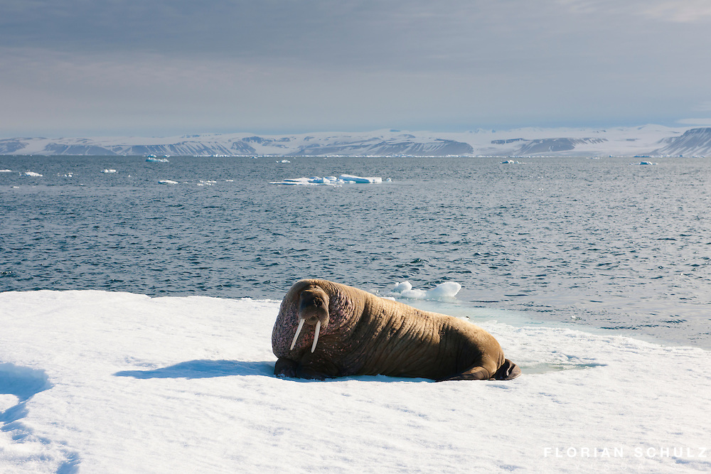 A walrus rests on some of the last remaining summer ice off the northern coast of Svalbard, Norway.