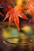 Japanese maple (Acer palmatum) in fall color after rain storm. Hoyt Arboretum, Portland, Oregon.