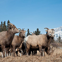 bighorn ewe band feeding on grass wild rocky mountain big horn sheep