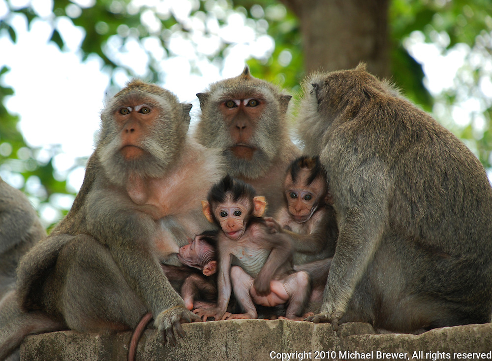 A monkey family group in Bali, Indonesia.
