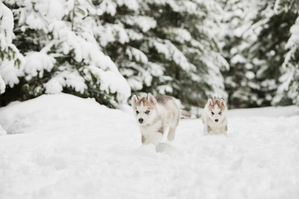 Siberian Husky Puppies running in the snow