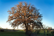 big oak tree in rural landscape setting with fading sunlight
