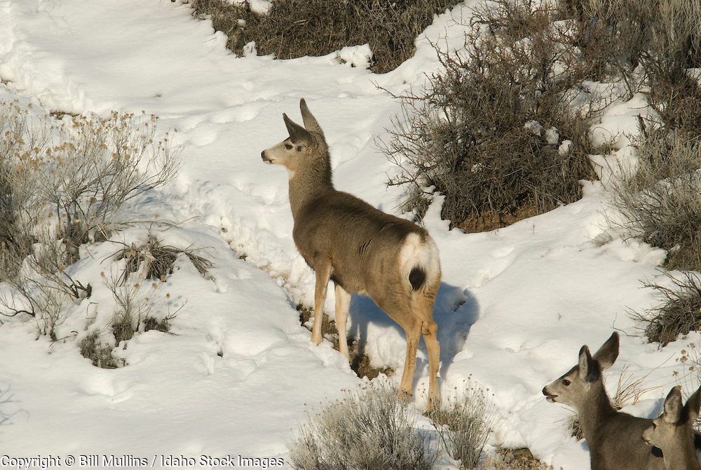 Mule deer doe and fawns (Odocoileus hemionus) on winter range near Lucky Peak Reservoir, ID