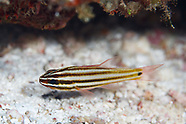 Ostorhinchus angustatus (Striped Cardinalfish)