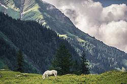 THEMENBILD - ein weißes Pony grast auf einer Bergwiese vor einem Bergmassiv, aufgenommen am 23. Juni 2019, am Hintersee in Mittersill, Österreich // a white pony grazes on a mountain meadow in front of a mountain massif on 2019/06/23, Hintersee in Mittersill, Austria. EXPA Pictures © 2019, PhotoCredit: EXPA/ Stefanie Oberhauser